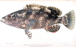 Epinephelus adscensionis.jpg