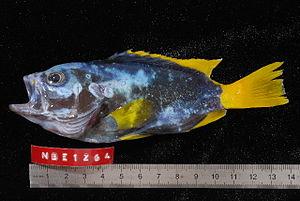 Epinephelus flavocaeruleus - Image: Epinephelus flavocaeruleus