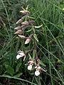 Epipactis palustris 060705c.jpg