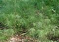 Equisetum pratense kz02.jpg