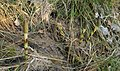 Equisetum telmateia Fallätsche 20200323 2.jpg