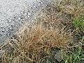 Eragrostis pilosa sl94.jpg