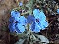 Eranthemum capense at Nedumpoil (3).jpg