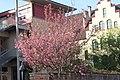 Erfurt magnolia.jpg