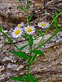 Erigeron annuus - Eastern Daisy Fleabane.jpg