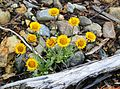 Erigeron aureus (golden fleabane, golden daisy ) - Flickr - brewbooks.jpg