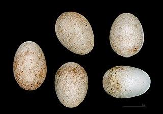 Slávik červienka - vajíčka