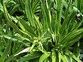 Eryngium agavifolium 001.jpg