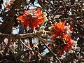 Erythrina latissima, blomme en peule, d, Pretoria.jpg