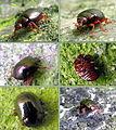Escaravello Beetle222.jpg