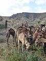 Ethiopie-Dromadaires entre Debre Birham et Kombolcha (3).jpg