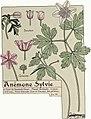 Etude de la plante - p.33 fig.28 - Anémone sylvie.jpg
