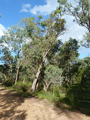 Description de l'image Eucalyptus dives tree 2.jpg.