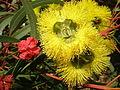 Eucalyptus erythrocorys 2c.JPG