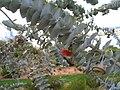 Eucalyptus rhodantha var. rhodantha leaves closeup.jpg
