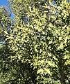 Euclea undulata - Gwarrie tree - KDNBG.jpg