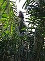 Eugeissona utilis inflo-JB Bogor -IMG 1398.jpg