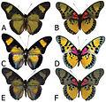 Euphaedra sarcoptera adult males - ZooKeys-298-001-g006.jpg