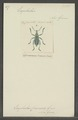 Eupholus - Print - Iconographia Zoologica - Special Collections University of Amsterdam - UBAINV0274 029 01 02 0099.tif