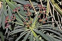 Euphorbia.atropurpurea.7068