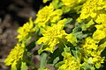 Euphorbia epithymoides-IMG 7207.JPG