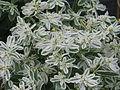 Euphorbia marginata Icicle (9551646361).jpg