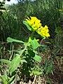 Euphorbia polychroma sl19.jpg