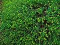 Euphorbia spinosa 001.JPG