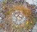 Eurasian Oystercatcher Nest.jpg