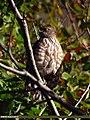Eurasian Sparrowhawk (Accipiter nisus) (15708489649).jpg