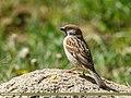 Eurasian Tree Sparrow (Passer montanus) (34320842194).jpg