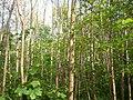 European Hornbeam (Carpinus betulus) (3493671209).jpg