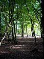 European Hornbeam coppice woodland.jpg