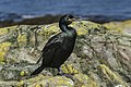 European Shag - Farne Is - FJ0A1579 (36333755825).jpg
