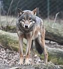 European grey wolf in Prague zoo.jpg