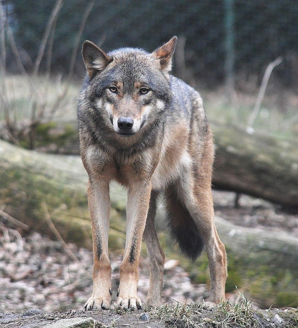 European grey wolf in Prague zoo