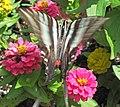 Eurytides marcellus (zebra swallowtail butterfly) on zinnias (Newark, Ohio, USA) 7 (43695147471).jpg