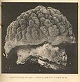 FMIB 38207 Porites asteroides Lam, Forma a Horizontal diameter of specimen, 176 cm.jpeg