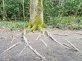 Fagales - Quercus robur - 59.jpg