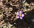 Fagonia cretica - Flickr - S. Rae.jpg