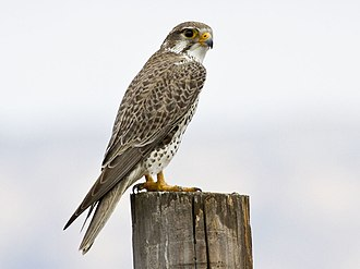 Miwok mythology - Prairie falcon (Falco mexicanus)