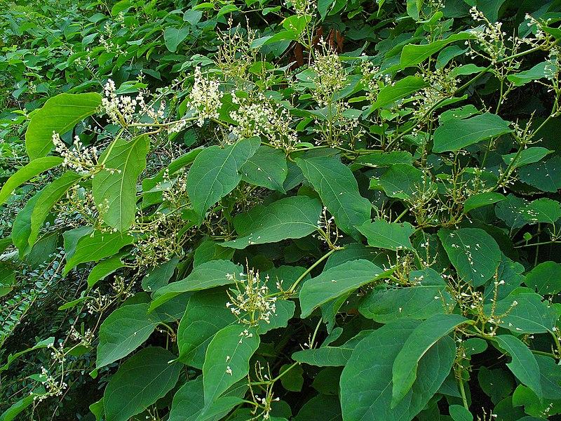 un arbre Martin le 1er Avril 2020 trouvé par Martine - Page 3 800px-Fallopia_japonica_001