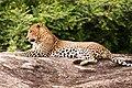 Famous Tiger Sinharaja Rainforest Sri Lanka.jpg