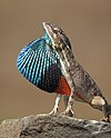 Fan throated Lizard.jpg