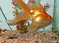 Fantail goldfish.jpg