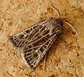Feathered Gothic. Tholera decimalis. Male - Flickr - gailhampshire.jpg