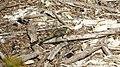 Female Orthetrum boumiera (49698324426).jpg