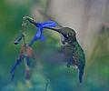 Female Ruby Throated Hummingbird (2826296066).jpg