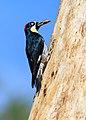 Female acorn woodpecker with nut at Upper Bidwell Park-6161.jpg