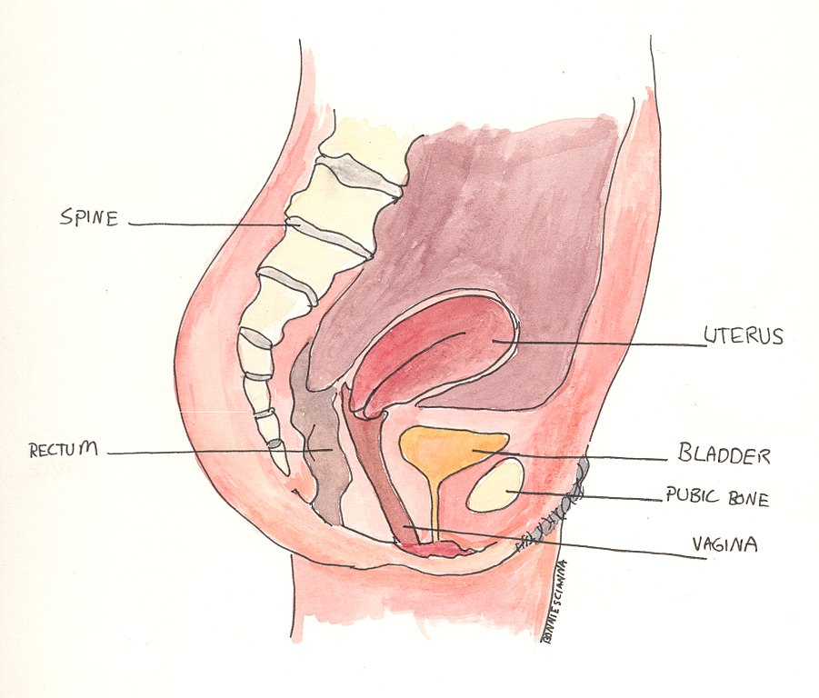 Filefemale Anatomy Side Viewg Wikimedia Commons